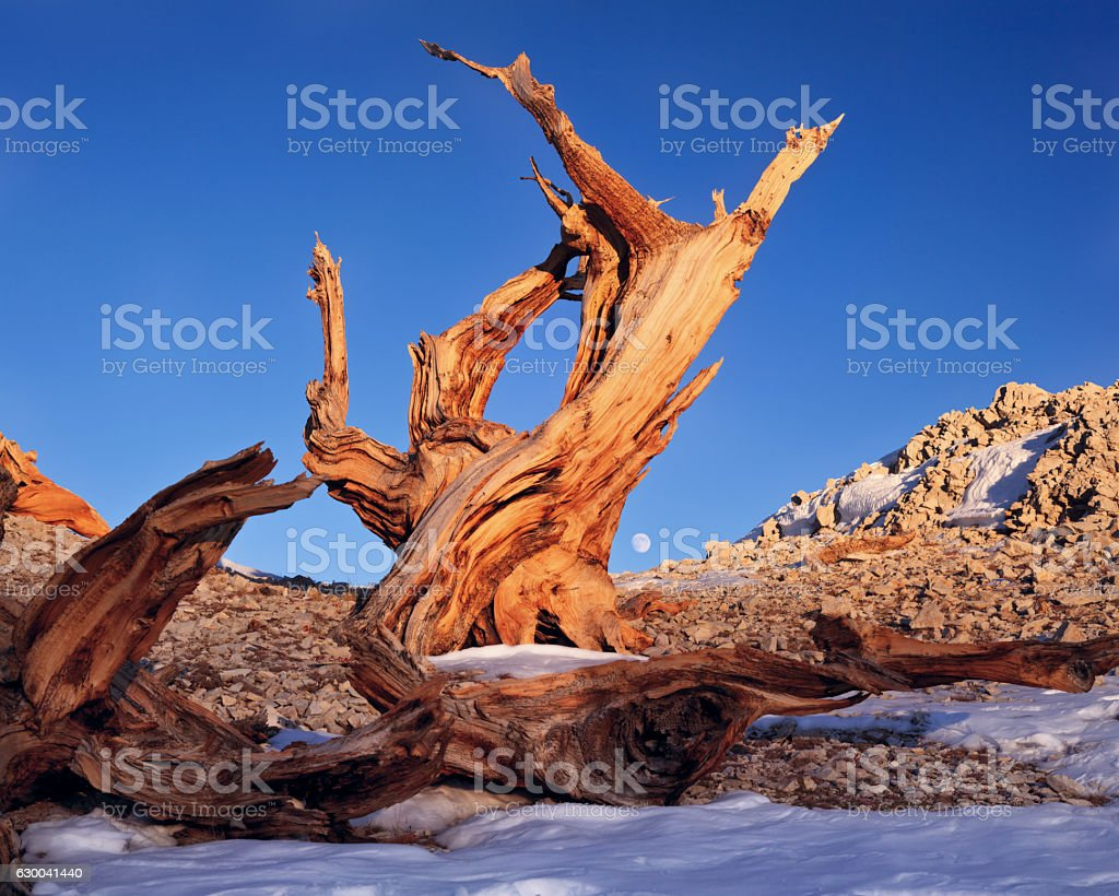 Bristlecone pine in the White Mountains stock photo