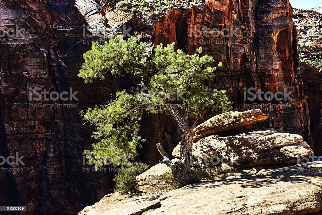 Bristlecone Pine  in Zion National Park royalty-free stock photo