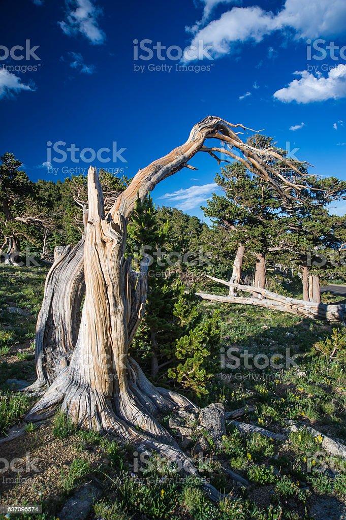 Bristlecone Pine Mount Evans, Colorado stock photo
