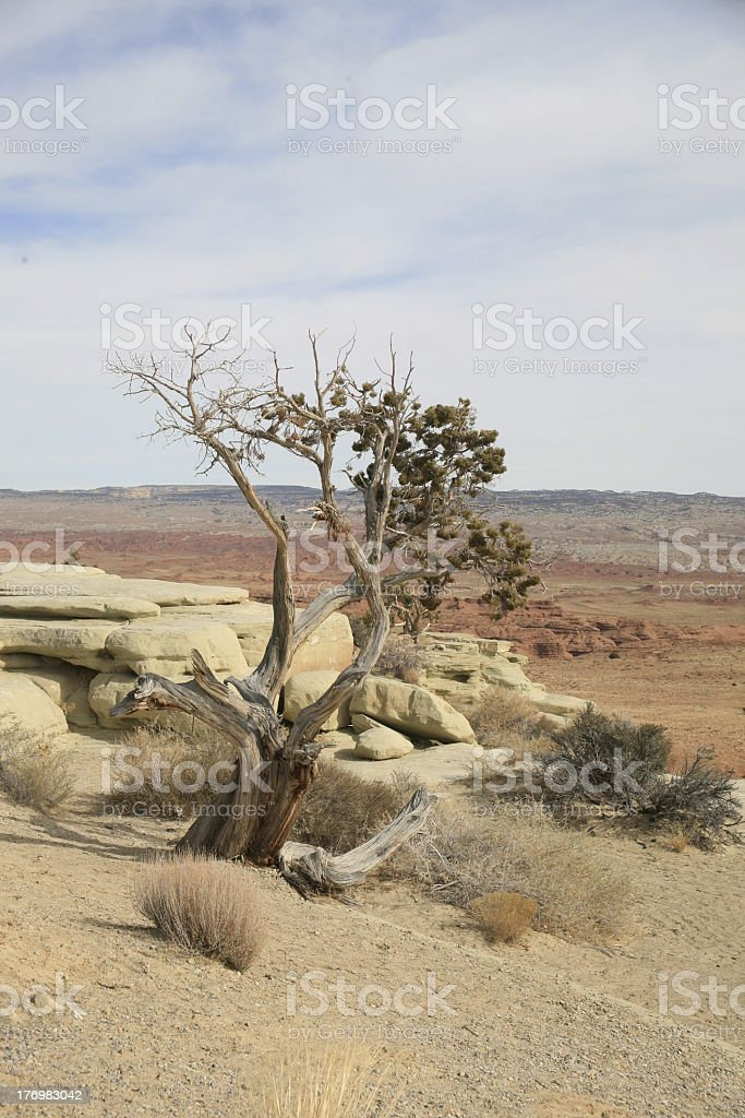 Bristlecone Pine on Uah Desert royalty-free stock photo