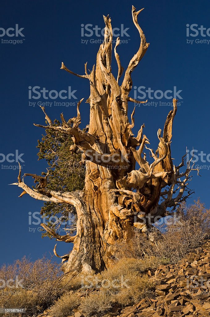 Bristlecone Pine (Pinus longaeva) royalty-free stock photo