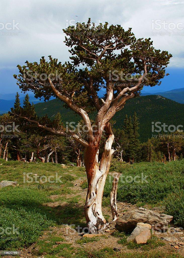 Bristlecone Pine stock photo