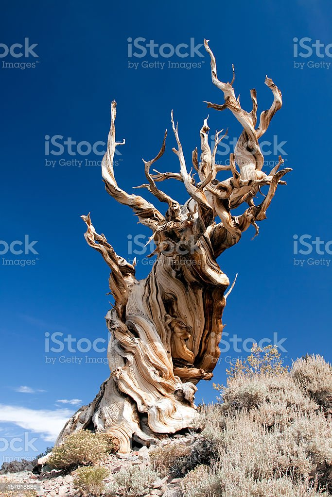 Bristlecone Pine stock photo