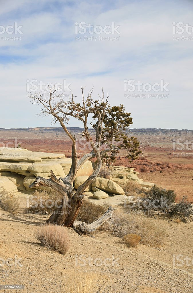 Bristlecone Pine, Pinus Longaeva, Pinus Aristata on Utah Desert royalty-free stock photo