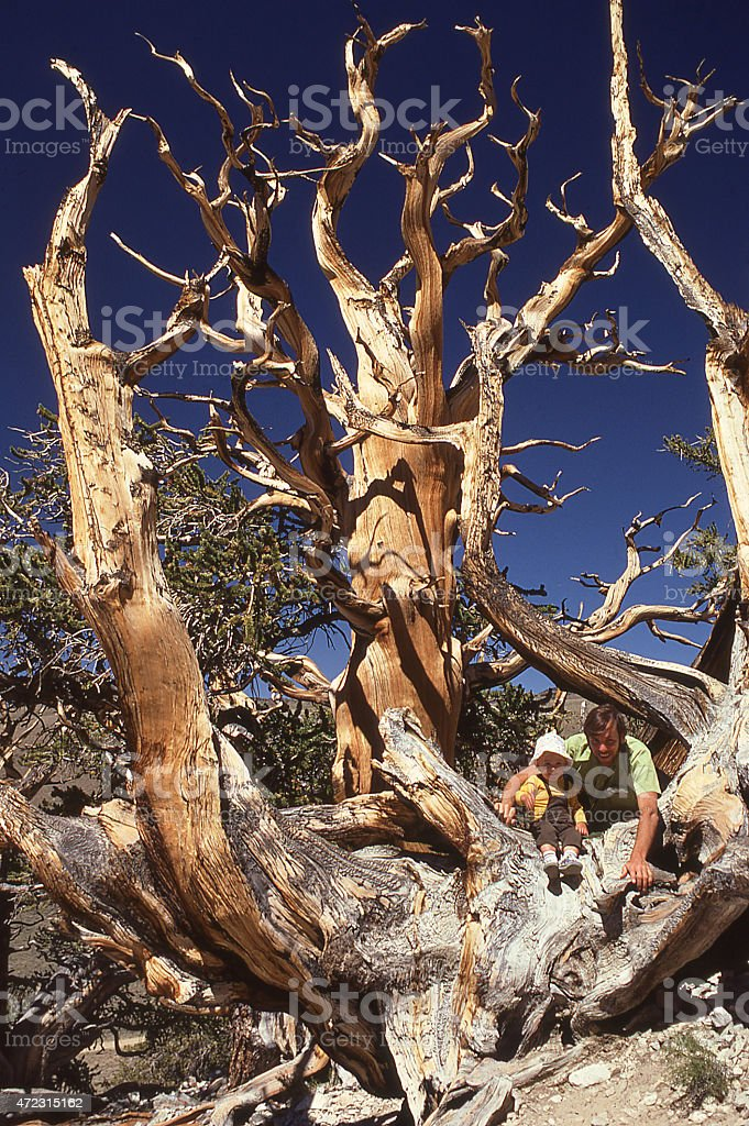 Bristlecone Pine Tree and father-son White Mountains Owens Valley California stock photo