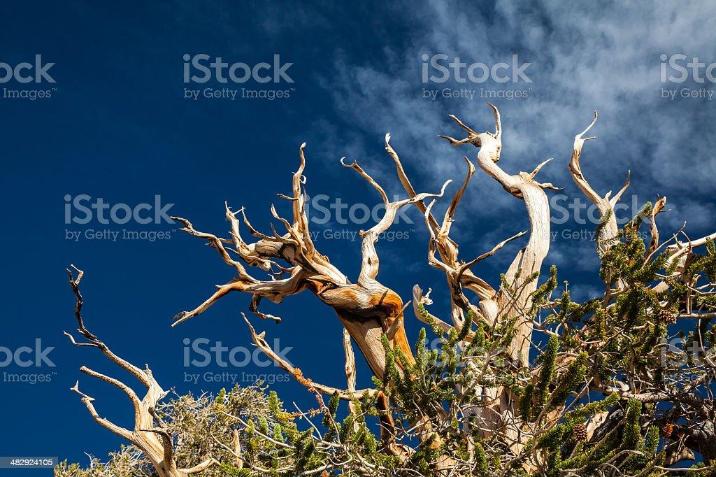 Bristlecone Pine Tree Branches stock photo