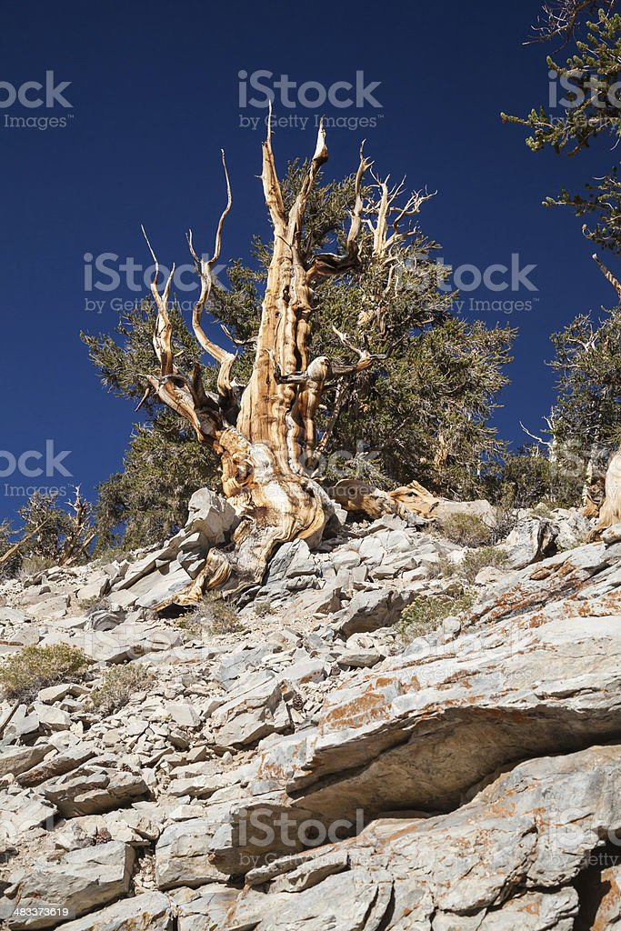 Bristlecone Pine Tree on Rocky Slope stock photo