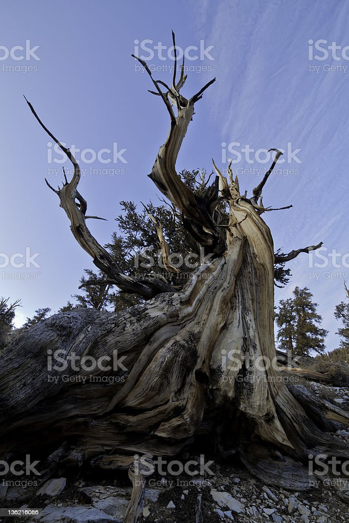 Bristlecone Pine Tree royalty-free stock photo