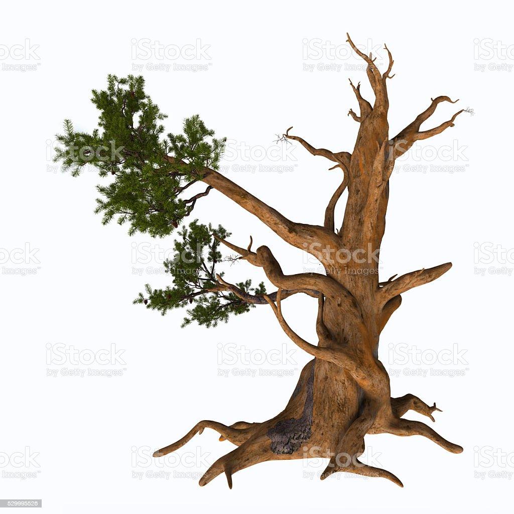Bristlecone Pine Tree stock photo