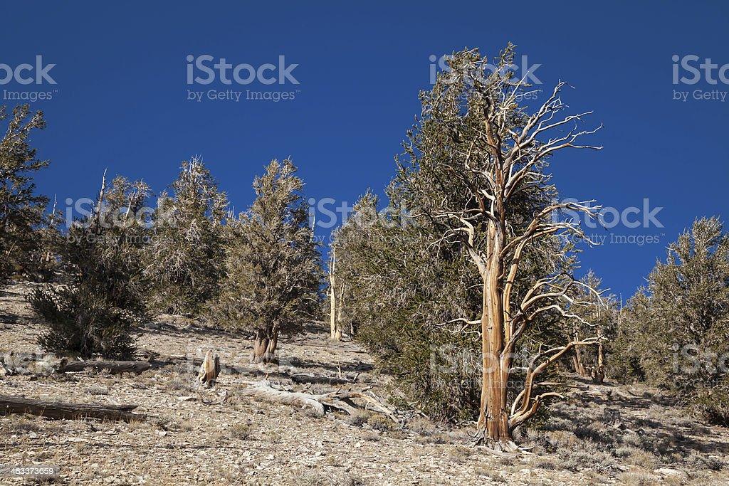 Bristlecone Pine Trees Grove stock photo