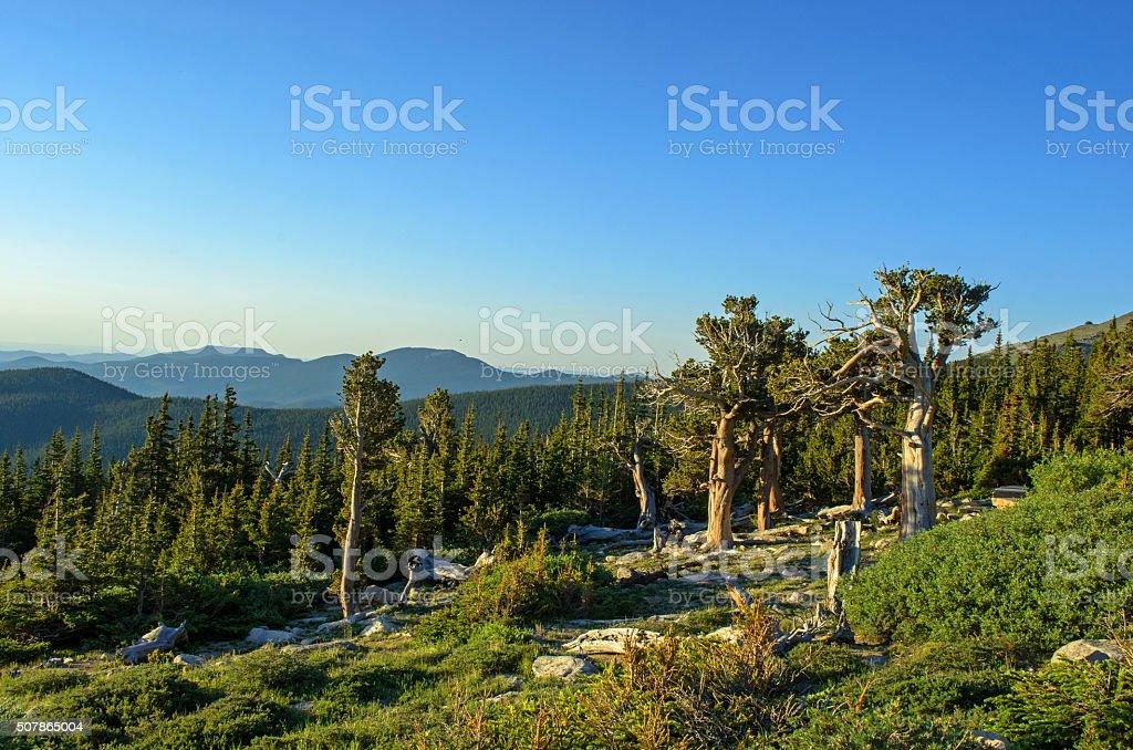 Bristlecone Pine Trees on Mount Goliath stock photo