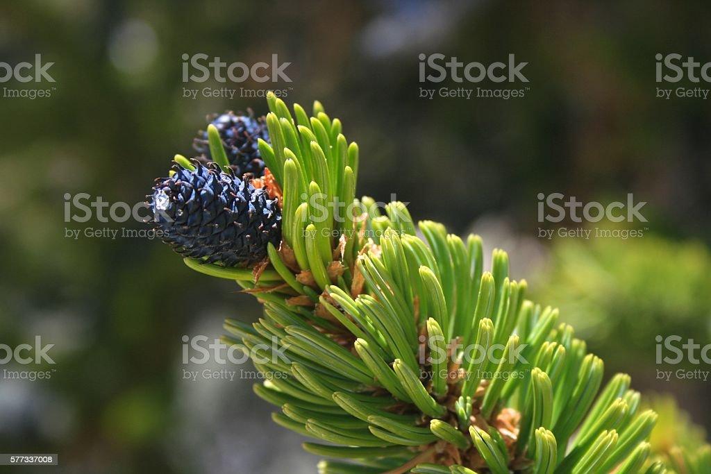 Bristlecone Pine Up Close stock photo