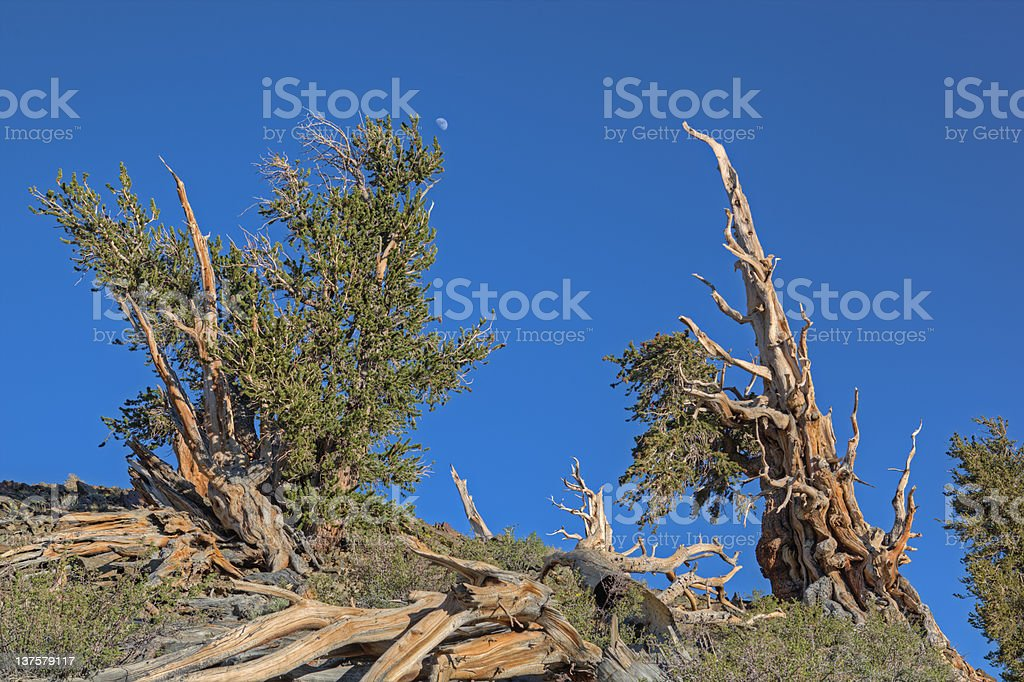 Bristlecone Pines royalty-free stock photo