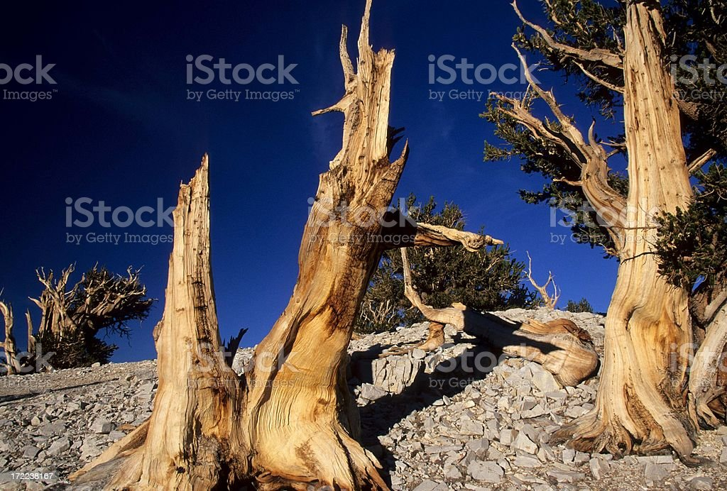 Bristlecone Pines royalty-free stock photo