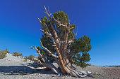 Bristlecone Pines with Sierra Nevadas in the Distance