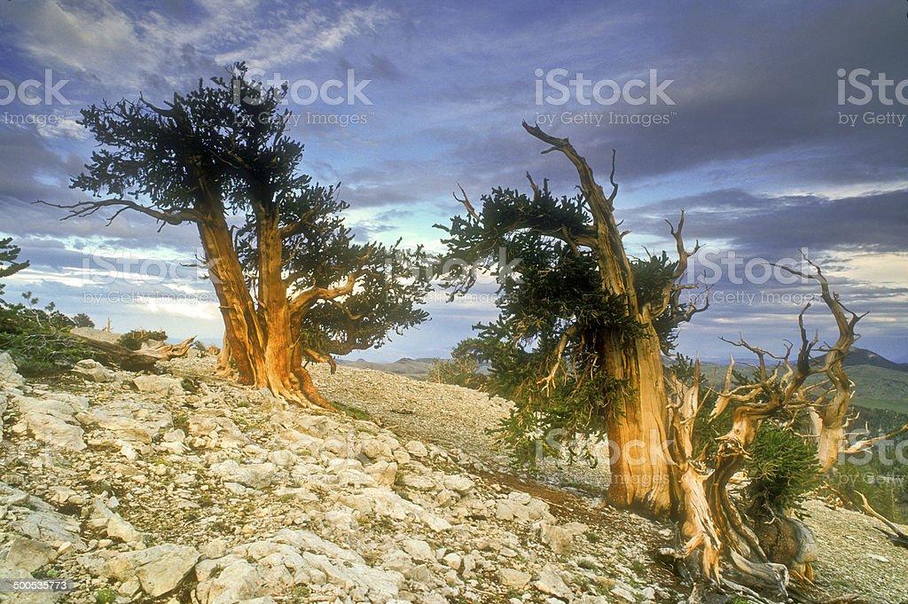 Bristlecone Splendor stock photo