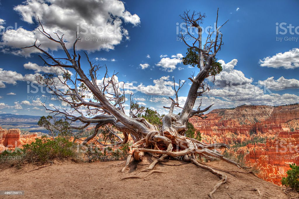 Bristlecone Tree at Bryce Canyon stock photo