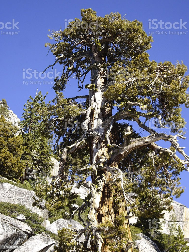 Bristlecone Tree royalty-free stock photo