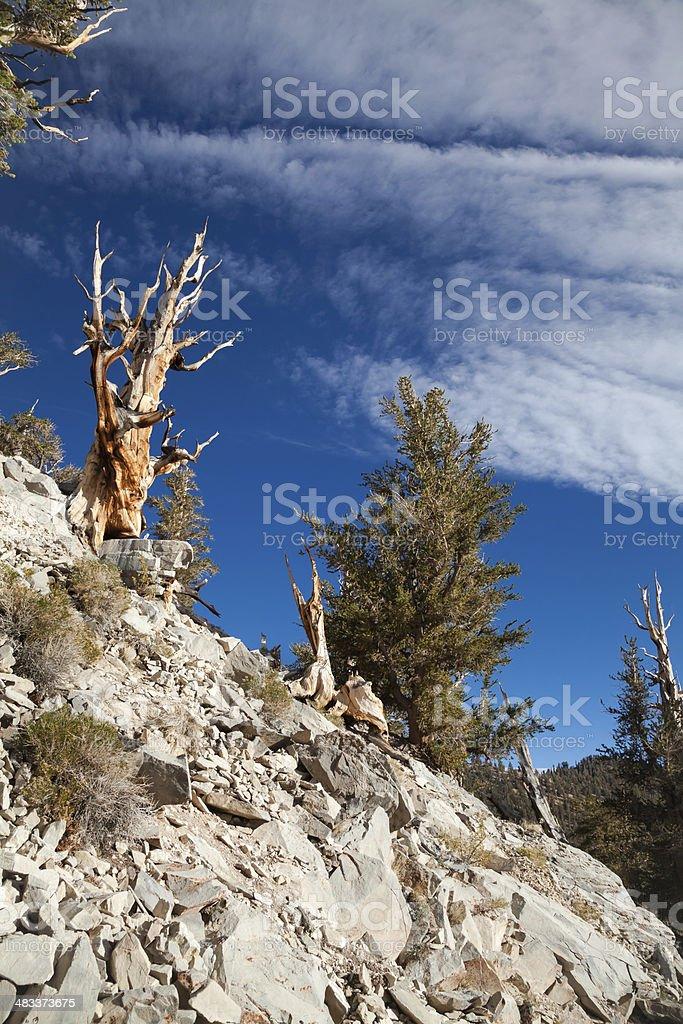 Bristlecone Trees on Rocky Slope stock photo