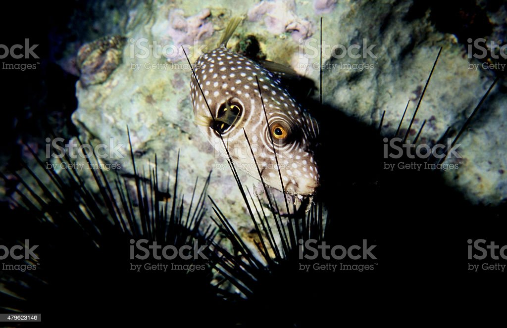 Bristly puffer fish at Coral Beach, Red Sea. Arothron Hispidus stock photo