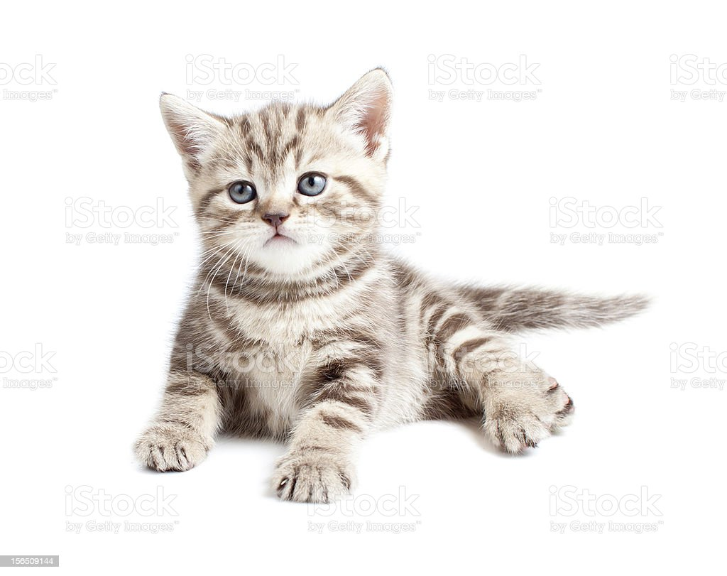 British baby cat or kitten lying isolated royalty-free stock photo