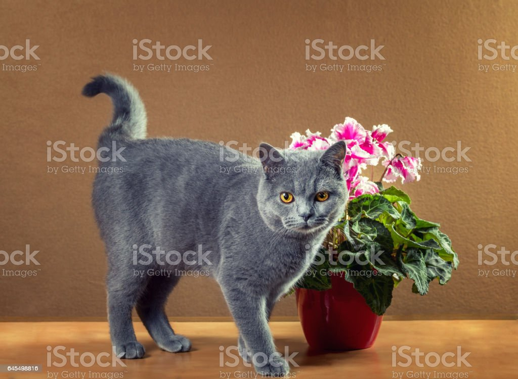 British Blue cat near a houseplant stock photo