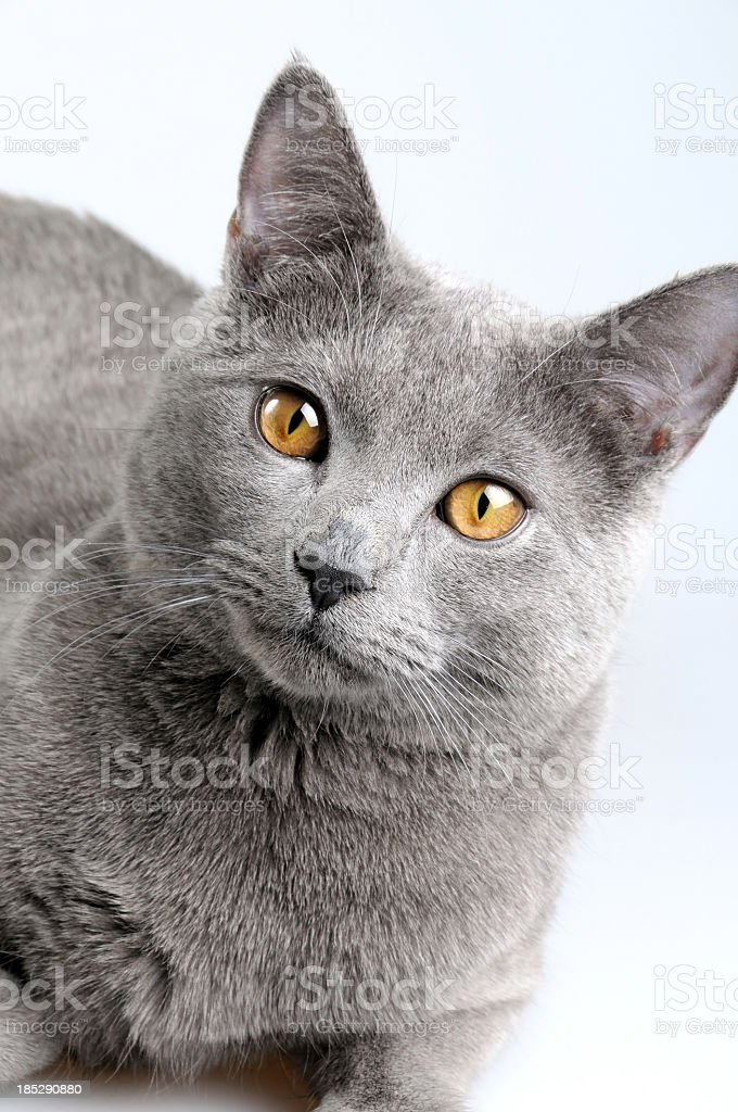 British blue cat stock photo