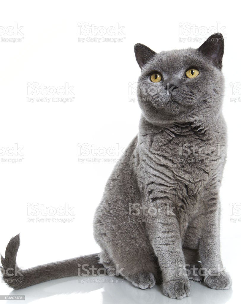 British Blue Shorthair Cat stock photo