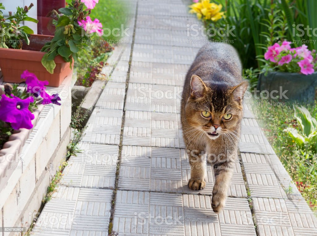 British breed of cats stock photo