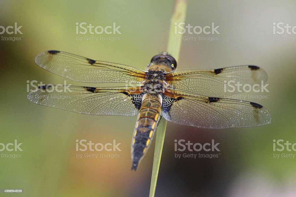 British brown dragonfly image / common dragonfly / four-spotted chaser (Libellula quadrimaculata) stock photo