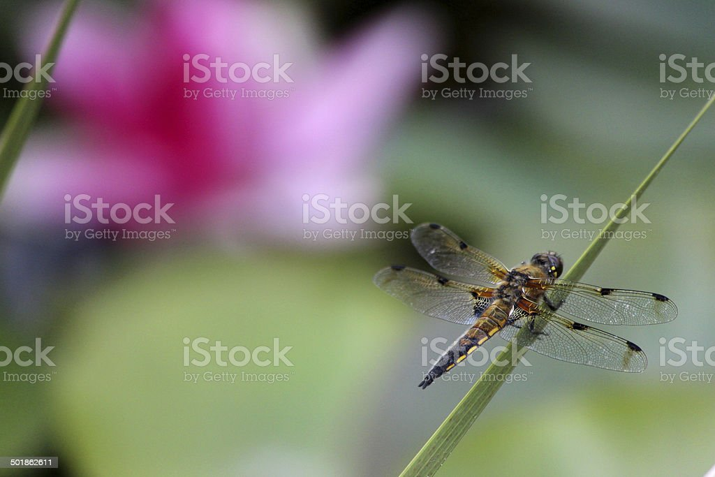 British brown dragonfly image / common dragonfly / four-spotted chaser (Libellula quadrimaculata) royalty-free stock photo