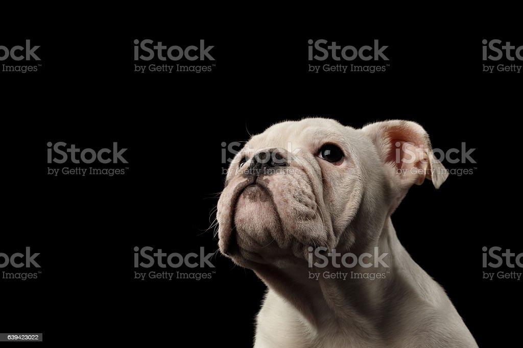British bulldog puppy breed on isolated black background stock photo