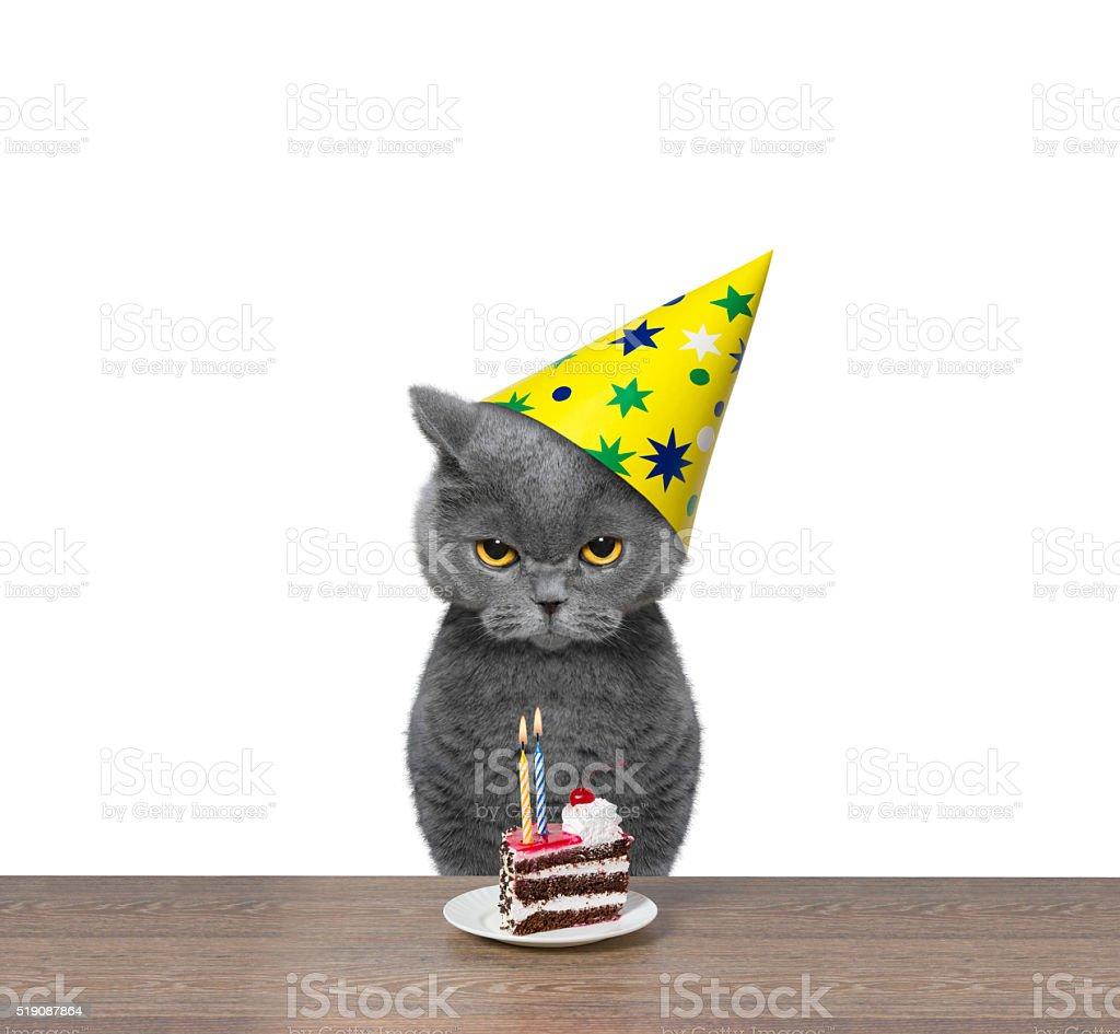 British cat celebrating birthday with piece of cake stock photo