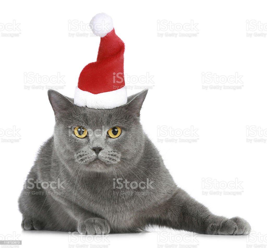 British cat in red christmas cap stock photo
