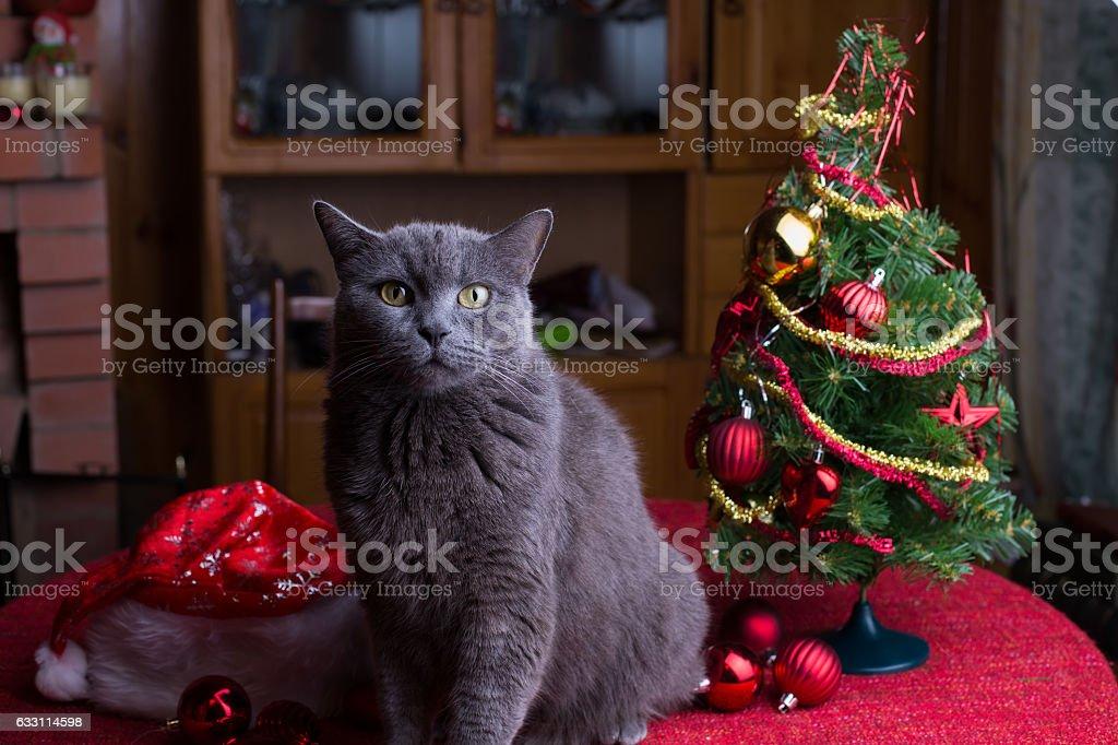 British cat on the table near Christmas tree stock photo