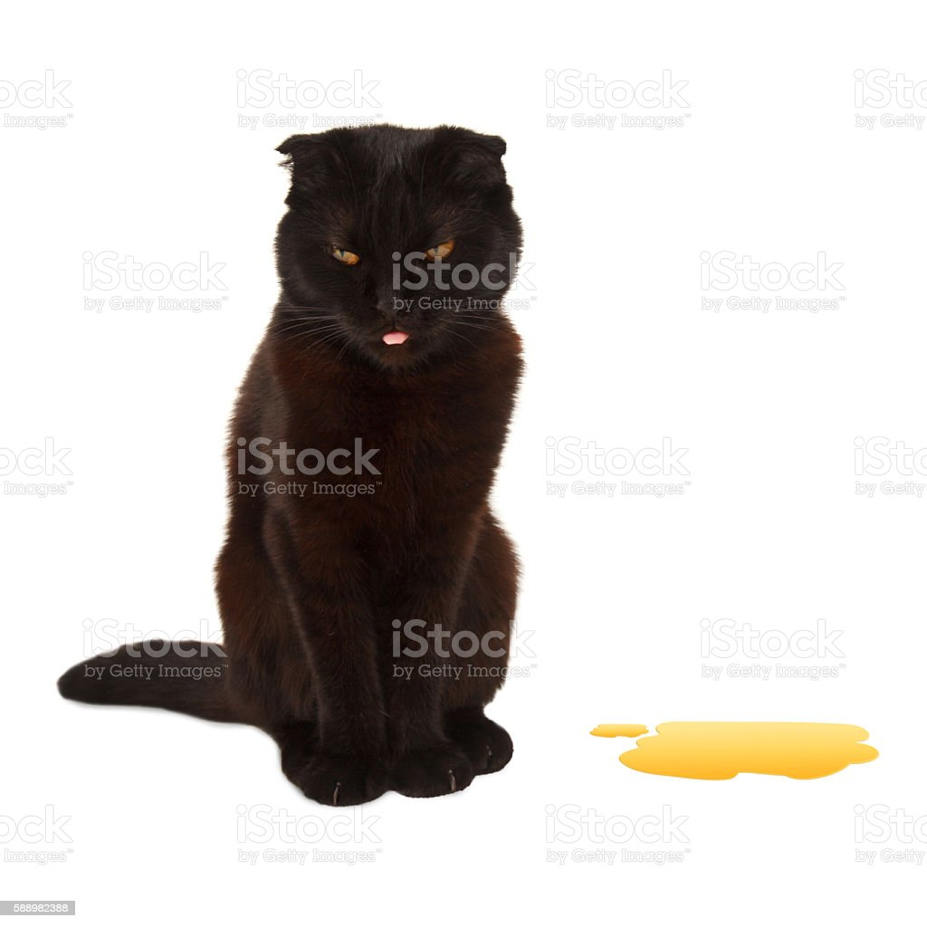 British cat pee on the floor. stock photo
