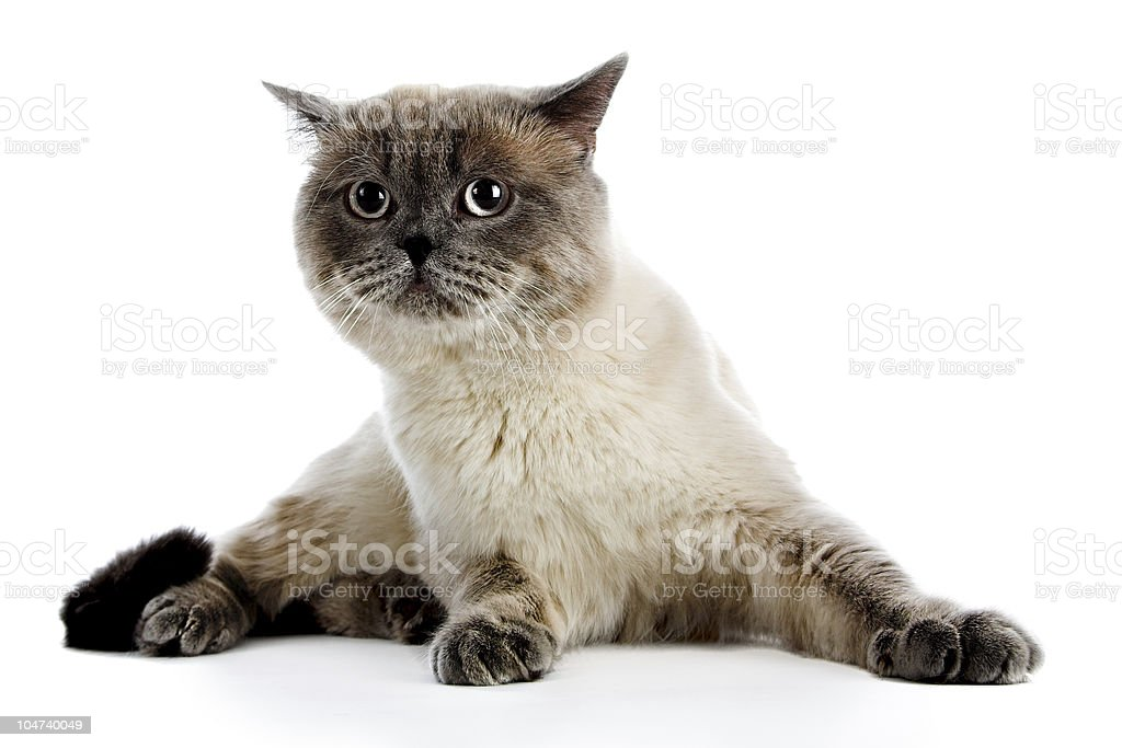 British cat royalty-free stock photo