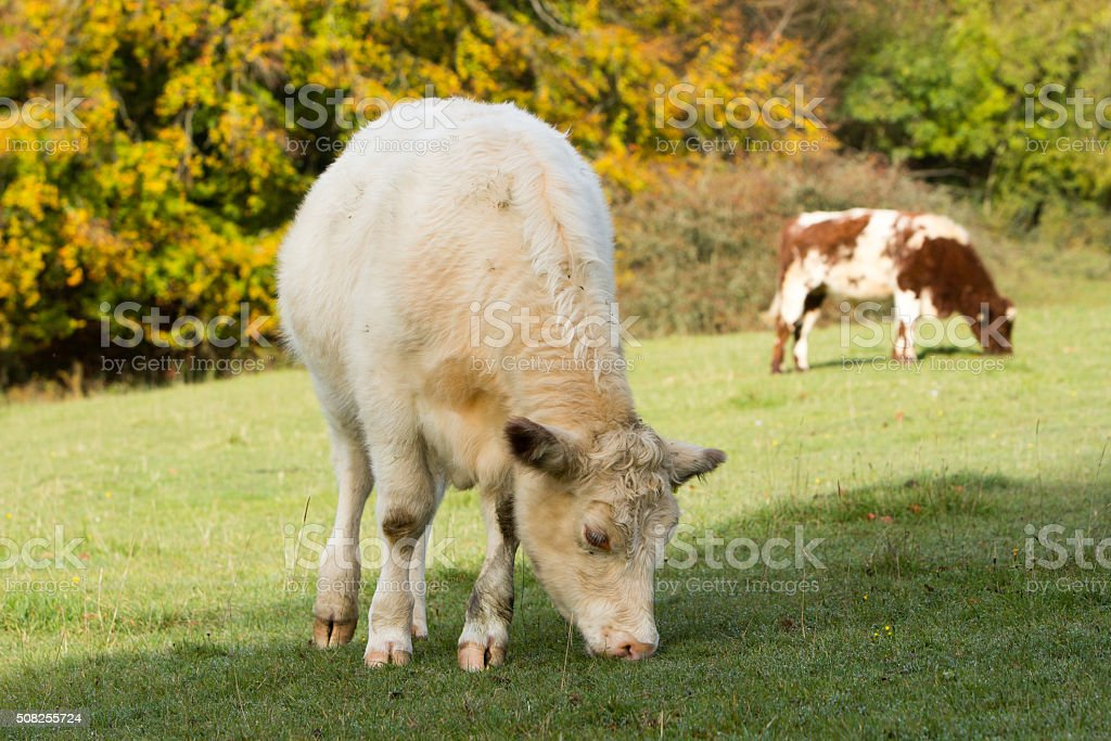 British Charolais in Gloucestershire, England stock photo