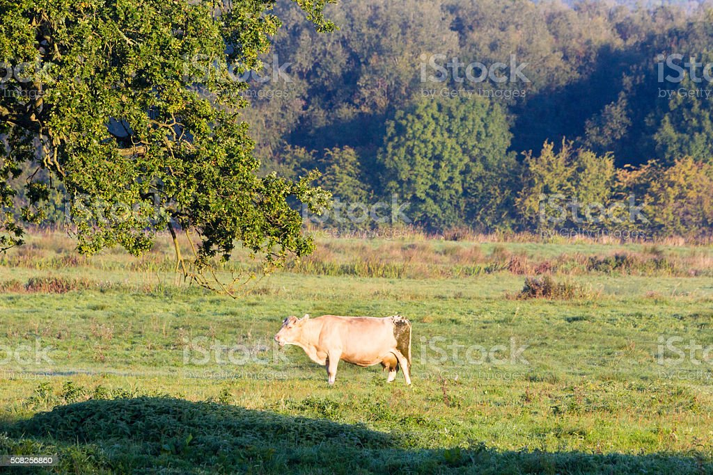 British Charolais in Kent, England stock photo
