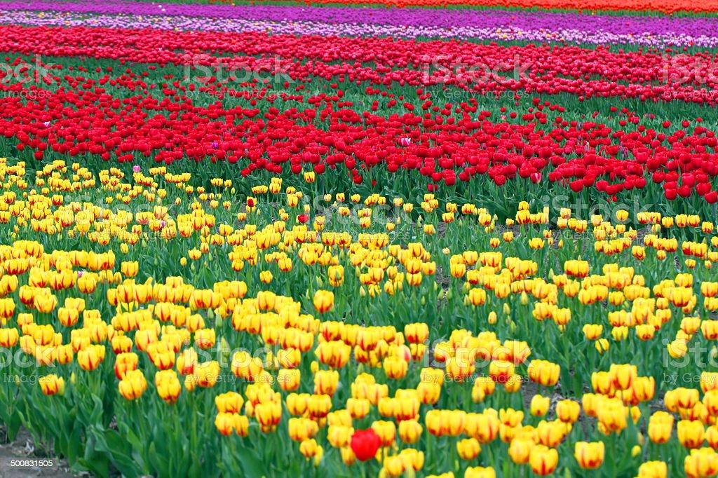 British Columbia Flowers royalty-free stock photo