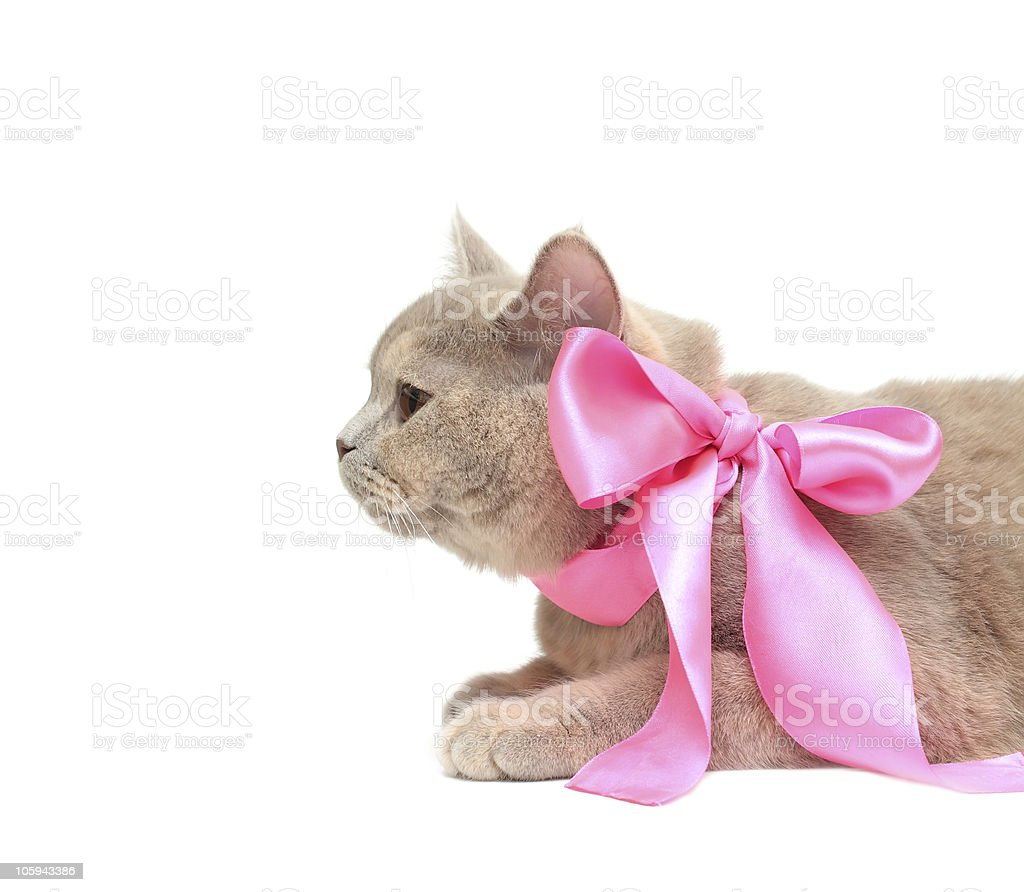 British Cream Shorthair cat royalty-free stock photo