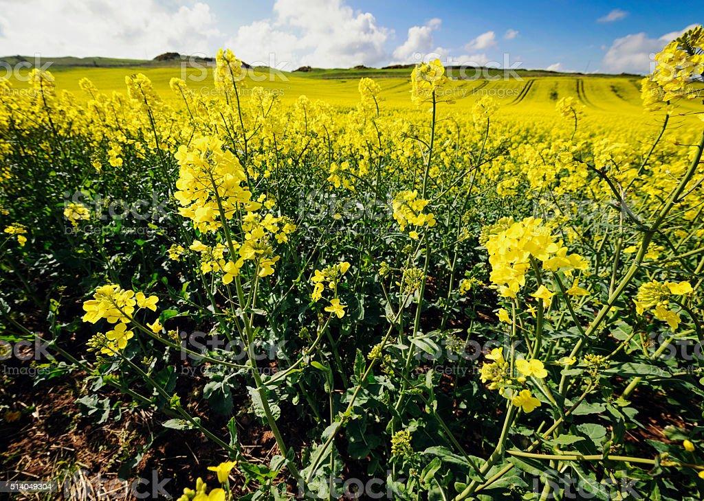 British field of oilseed rape (canola) stock photo