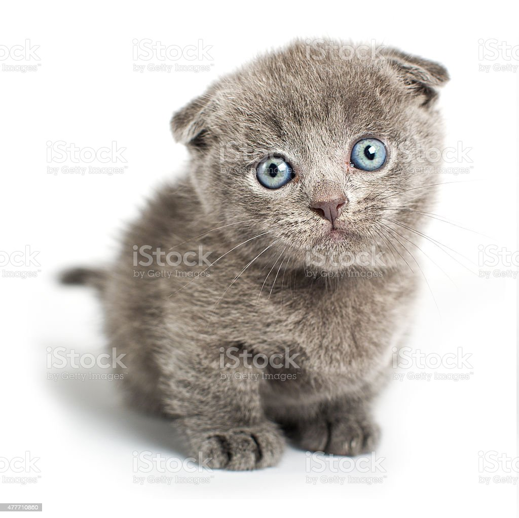 British fold cat on a white background in studio stock photo