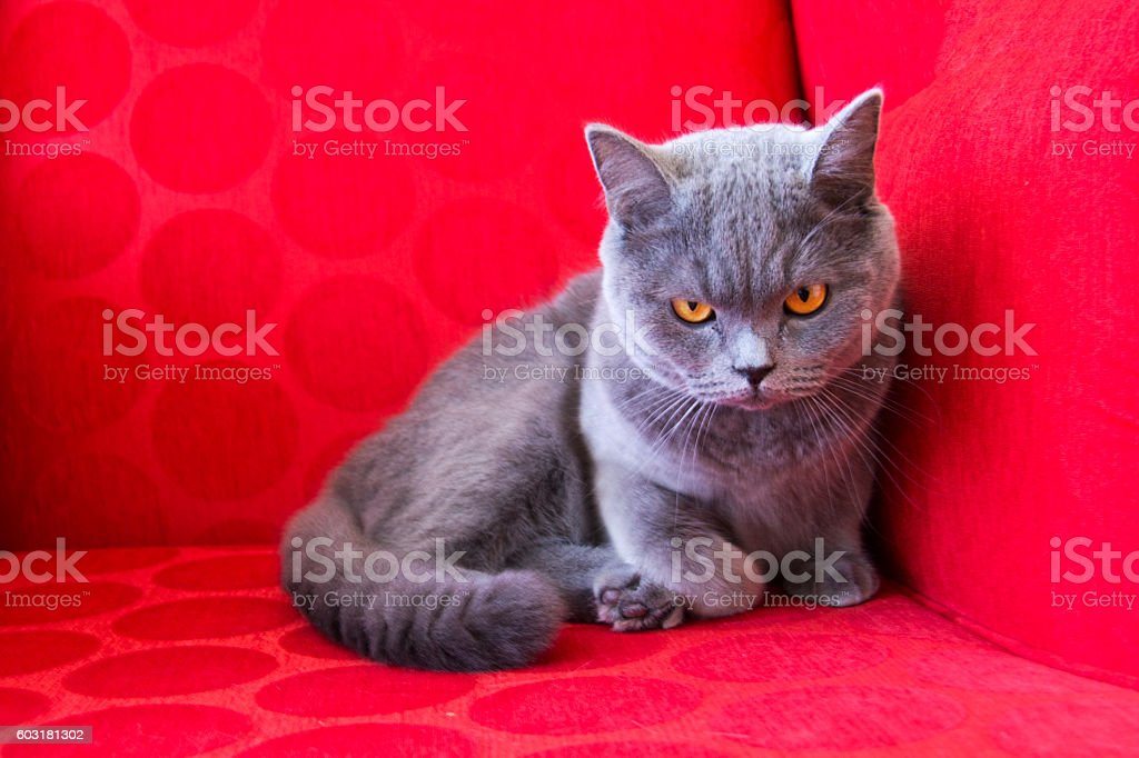 British Fold cat resting on chair stock photo