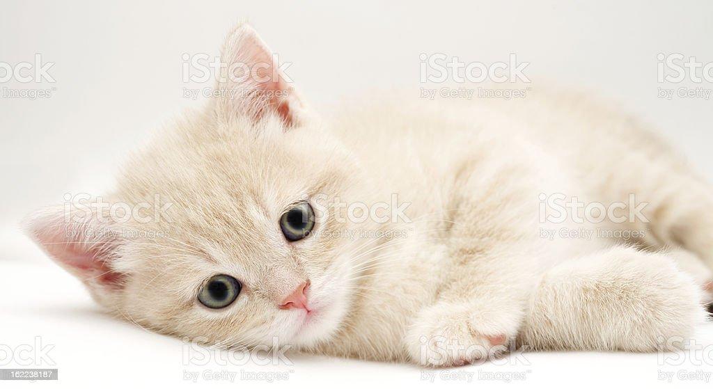 British Fold kitten royalty-free stock photo