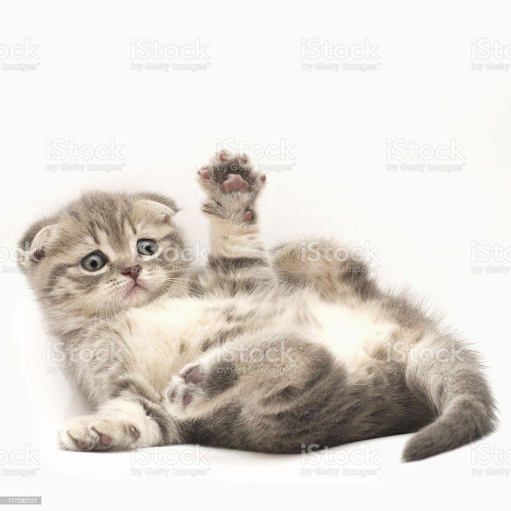 영국 돌림주름 고양이 새끼 royalty-free 스톡 사진