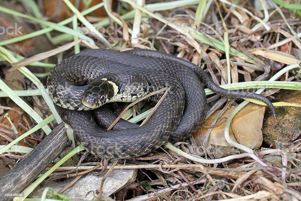 British grass snake. stock photo