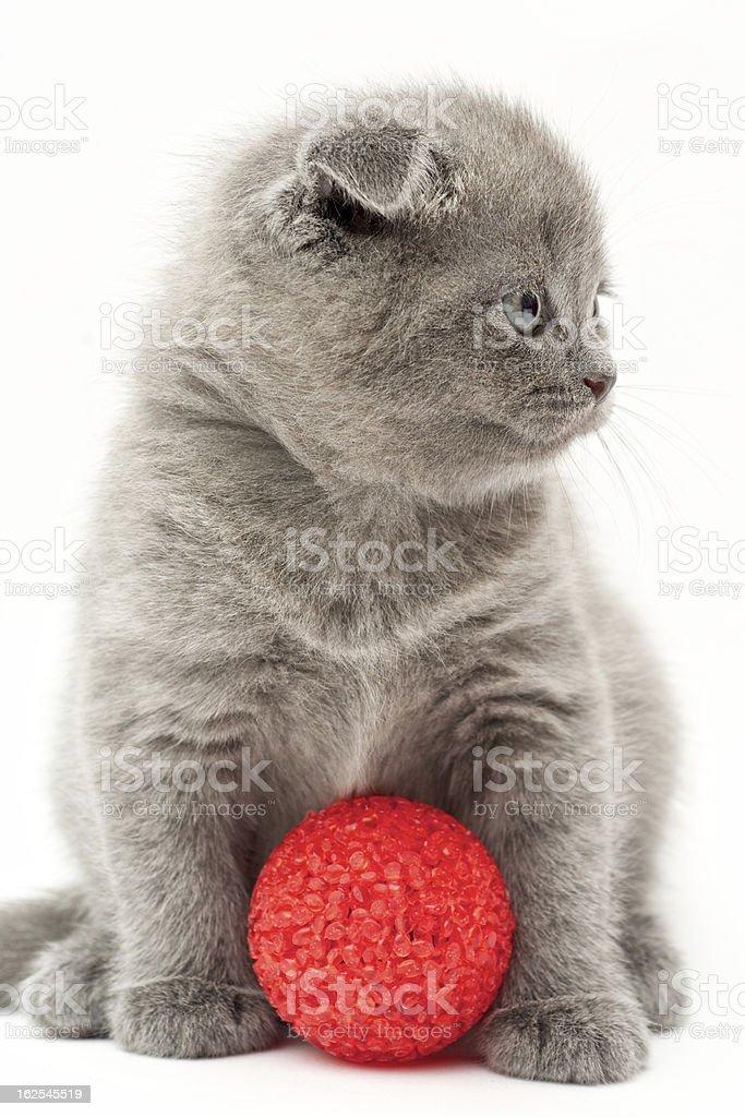 영국 그레이 고양이 새끼 royalty-free 스톡 사진
