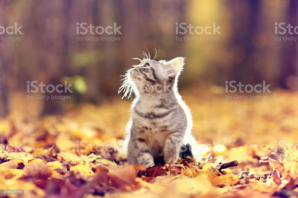British kitten in autumn park, fallen leaves stock photo