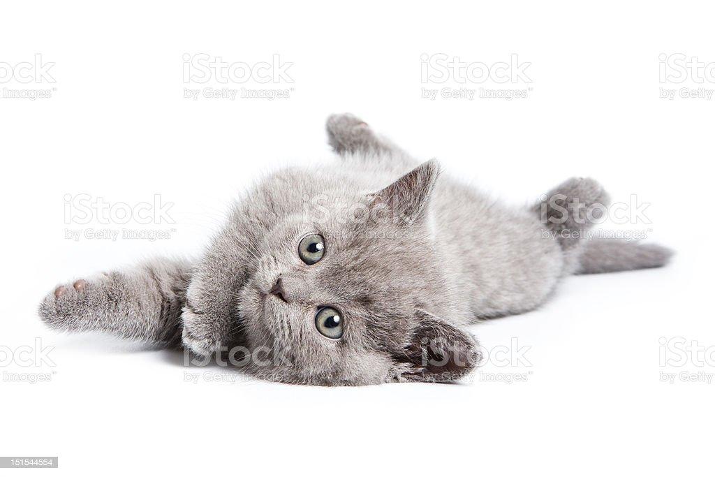 British kitten on white background royalty-free stock photo